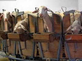 le-nombre-de-brebis-laitieres-en-bio-a-augmente-de-12-en-un-an-alors-que-celui-de-brebis-viande-a-baisse-de-1-4-.-dr